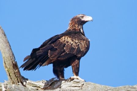 Águila cola de cuña