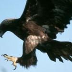 Águila real cazando