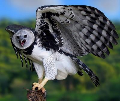 Harpy-Eagle-Ricardo-Koehn2-e1324844076469
