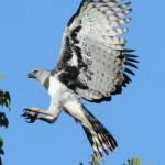 Águila arpía cazando