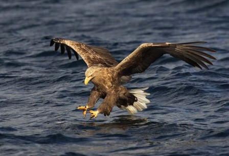 White-tailed_Eagle_P1_large_(Mike_Brown)