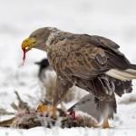 Águila alimentandose
