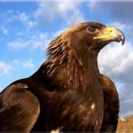 golden_eagle1