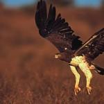 martial-eagle-480b
