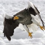 stellers_sea_eagle-normal