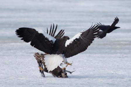stellers_sea_eagle_8130