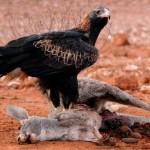 Águila cola de cuña cazando canguro